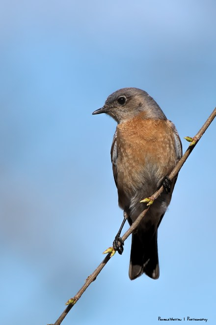 Mrs. Western Bluebird
