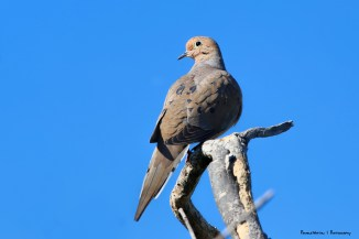 A White Collared Dove and her blue eye shadow
