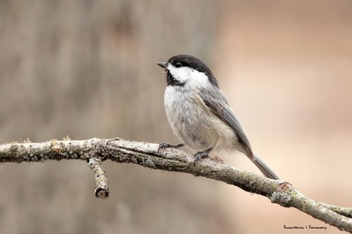 Beautiful Chickadee