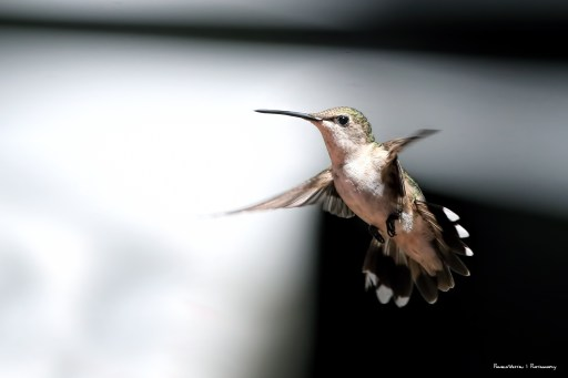 Mrs. Ruby Throated Hummingbird