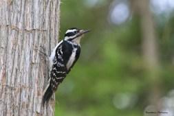Mrs. Hairy Woodpecker