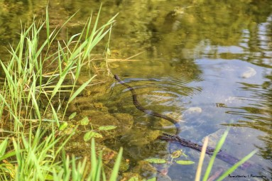 A northern watersnake is a subspecies of the common watersnake (N. sipedon)