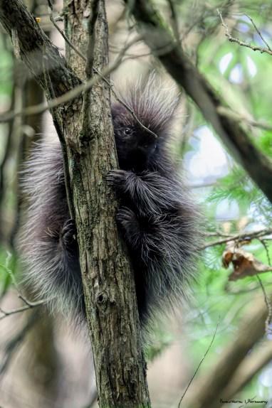A baby Porcupine glances our way