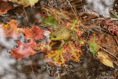 A beautiful juvenile Bullfrog