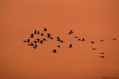 Cranes arriving at sunset