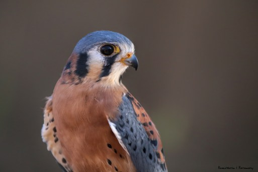 American Kestral, also known as a Sparrow Hawk
