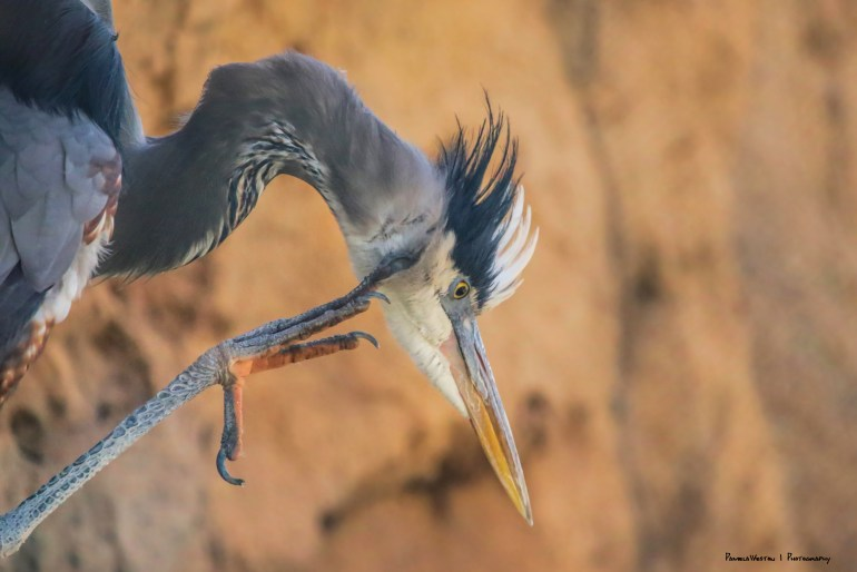 Great Blue Heron, my those are long claws!