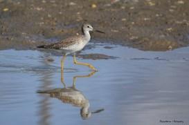 YLB..Yellow legged Bird;) Greater yellowlegs..I think?