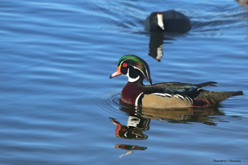 The ever handsome Mr. Wood duck