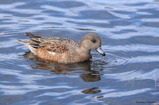 Mrs. Widgeon