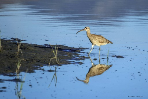 A Whimbrel looking for a snack