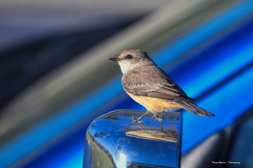 The truck is a favourite perch-Say's Phoebe(?)