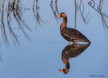 I've only seen the White Fronted Geese after storms came through