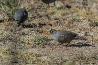Mr. California Quail