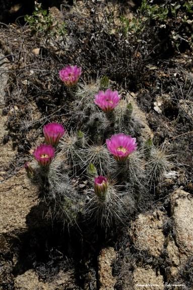 Starwberry Cactus