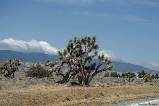 Joshua Trees along US 138