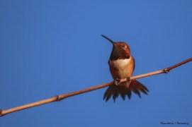 Rufous Hummingbird-Mr.