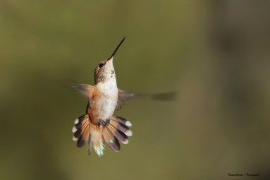 Allen's Hummingbird-Mrs.