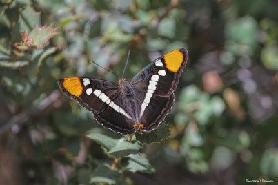 California Sister (Adelpha californica)