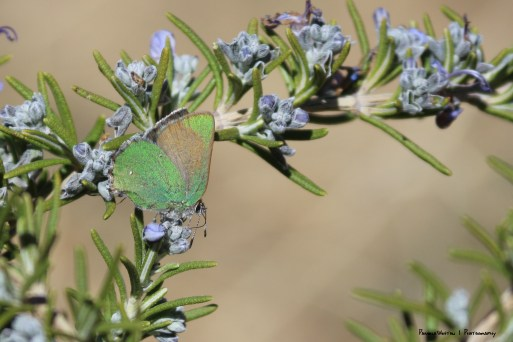 Bramble Green Hairstreak(?)