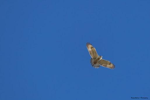 Ferruginous Hawk-pretty sure!