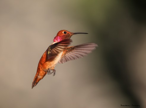Rufous Hummingbird-the Mr.