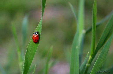 I am a California native ladybug with an oval, rather than rounded, body. I can have 13 or fewer spots. I take my name from the two converging white lines on my pronotum (the shield like part that covers my head). In the winter you can find me in huge colonies in the local mountains.