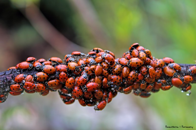 ladybugsAS