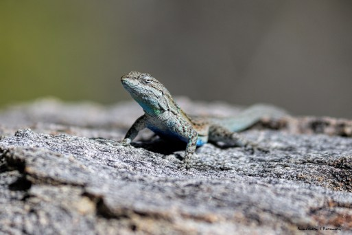 LizardF