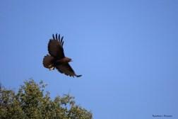 Even darker morph Redtail Hawk