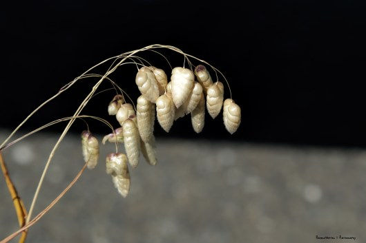 These small seeds sound like a rattlesnake:)