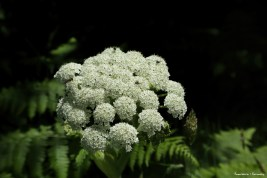 Queen Annes Lace-Daucus carota-Dinner plate size flowers everywhere!