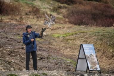 Take off-Peregrine Falcon