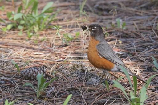 Robin bringing home breakfast