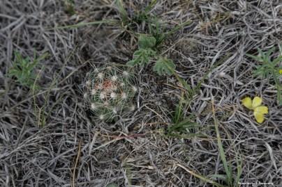 Smallest pincushion cactus