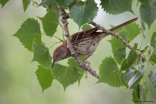 I had been following this Brown Thrasher about trying to see him/her in the sun.