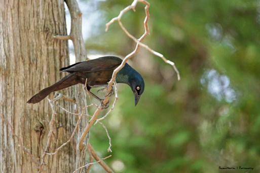 A Grackle parent escaping it's needy brood of 5 chicks;)