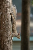 Grey-brown squirrel