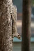Grey-brown squirrel
