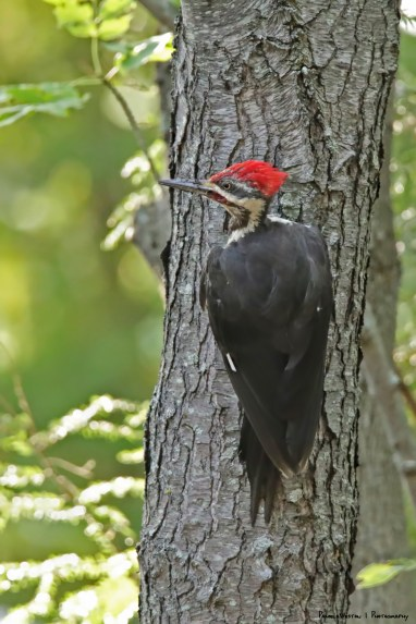 Mr. Pileated Woodpecker, check out his red cheek colour