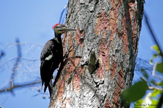 Pileated debarking!