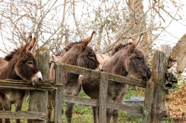 THREE donkeys! Who rang the dinner bell?