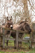 TWO donkeys!...wait!