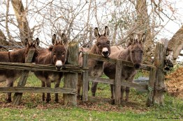 FOUR donkeys, there are actually six in all:) such beautiful fuzzy creatures!