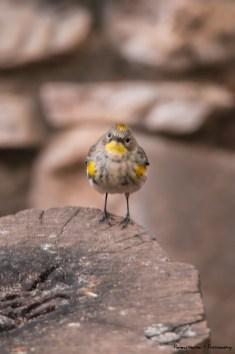 Yellow Rumped Warbler-Audubon's variety