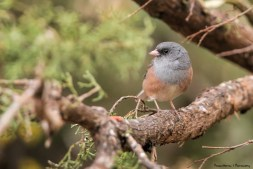 Dark Eyed Junco (pink sided)