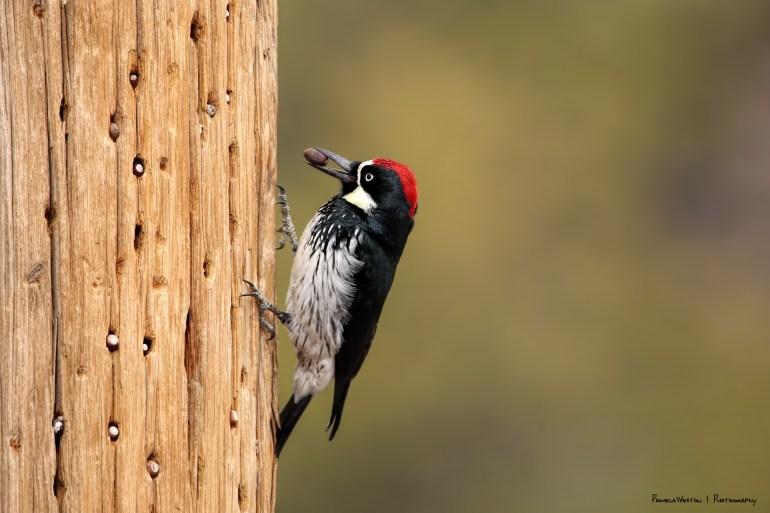 Acorn Woodpeckers doing what they do:)