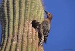 A Gila Woodpecker