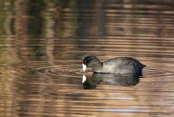There are thousands of Coots here