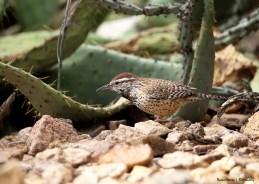 A Cactus Wren